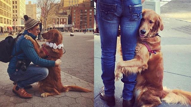 真的只能抱紧处理了!纽约最黏人的「抱抱黄金猎犬」Loubie