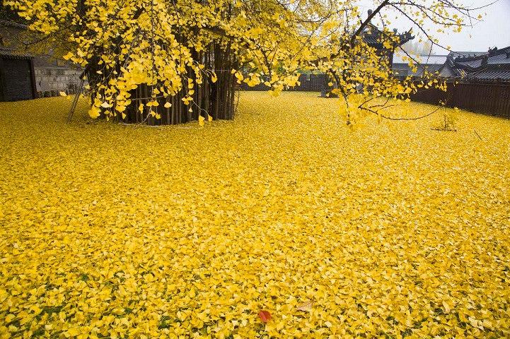 由落叶舖成的金黄地毯,千年历史的银杏树让你体验金黄色的秋天!